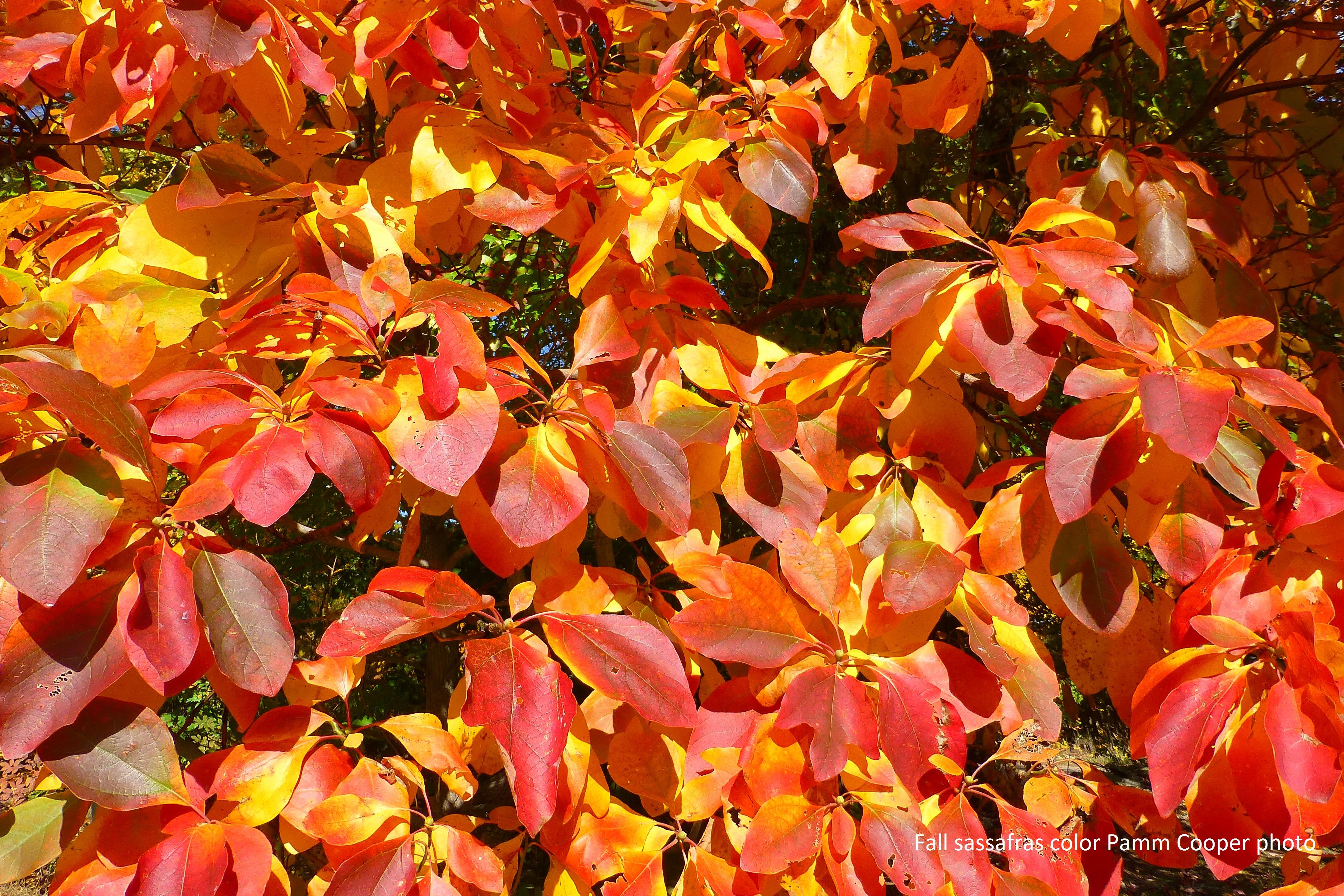 sassafras fall color