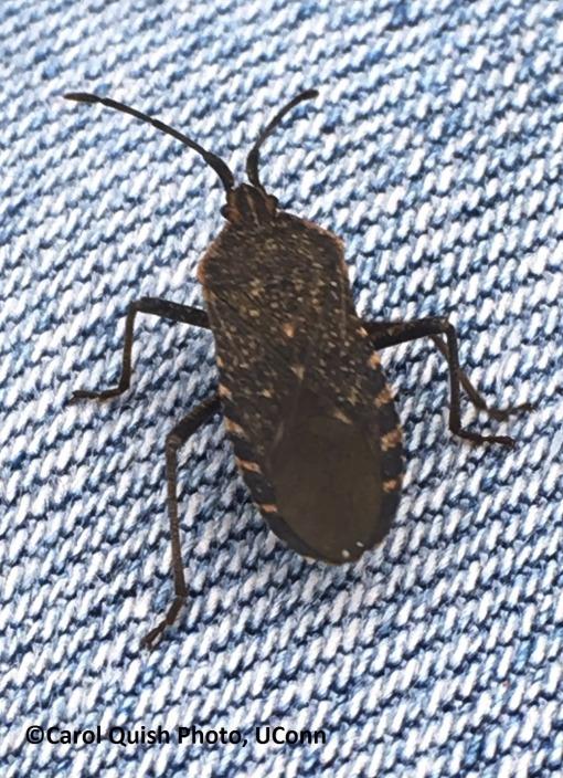squash bug adult 10-19