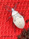 squash bug larva10-19