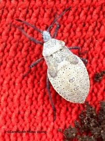 Squash bug nymph