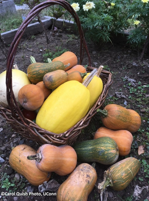 Squash harvest 2019