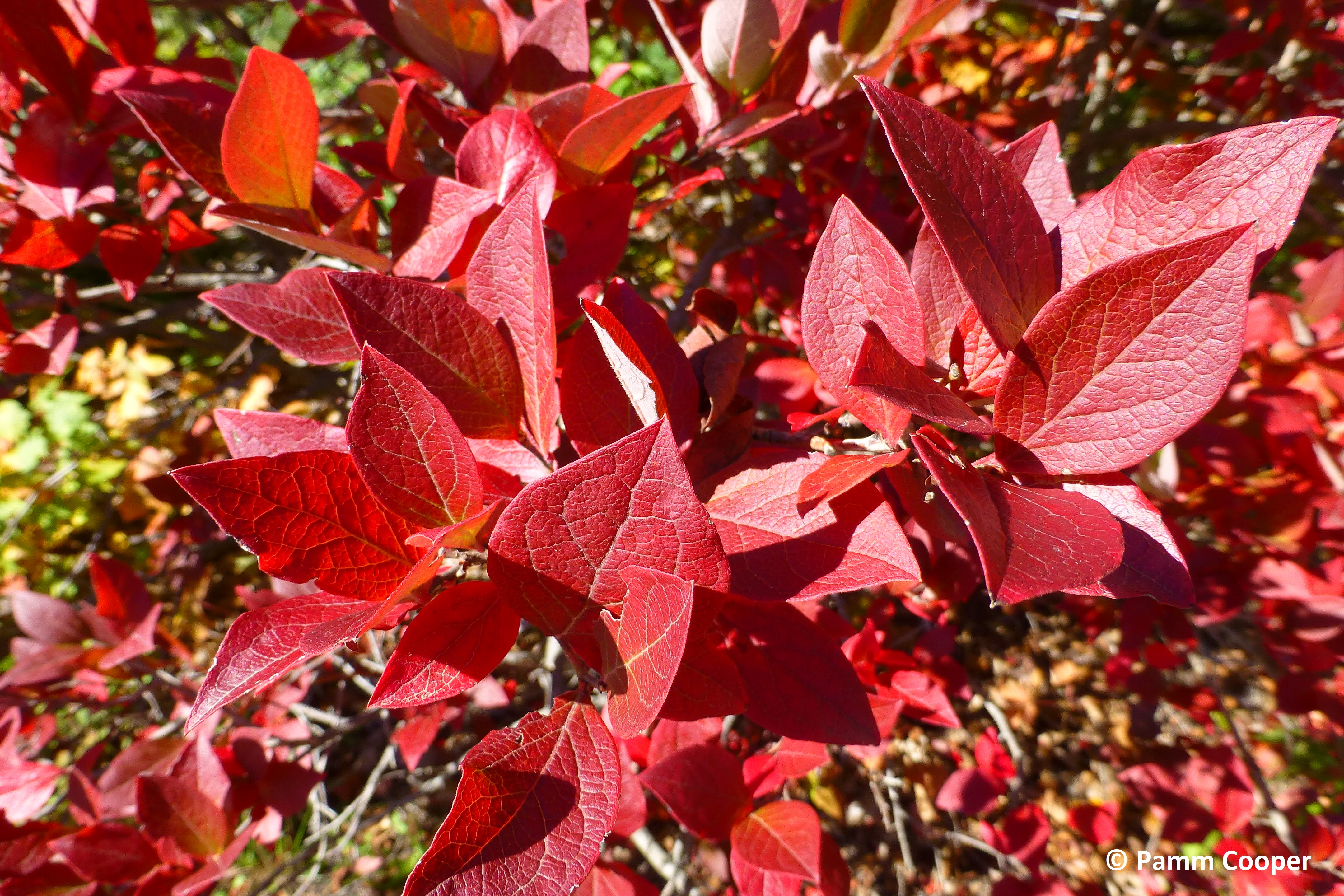 blueberry fall color