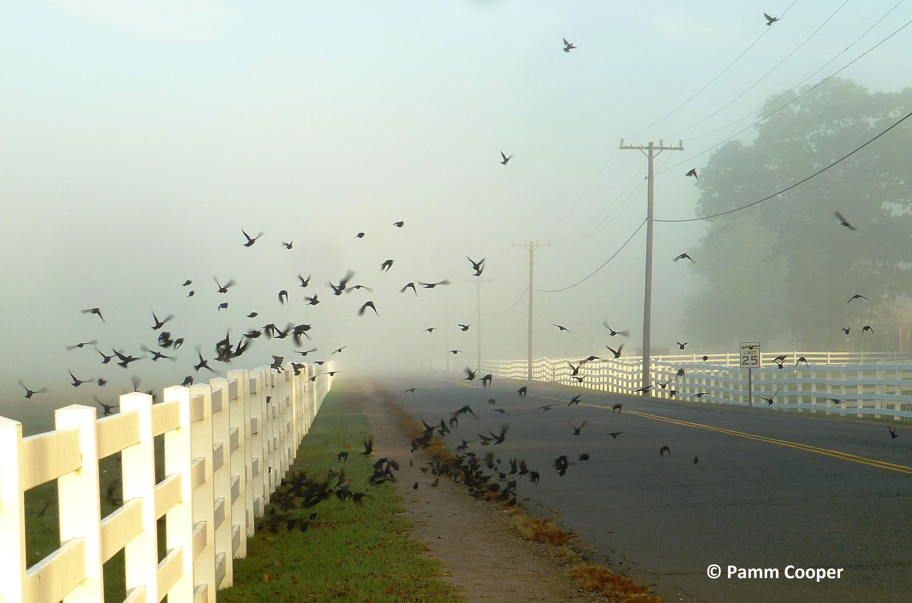 cowbirds on fall migration Horsebarn Hill UConn