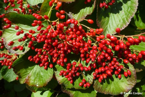 cranberry viburnum berries
