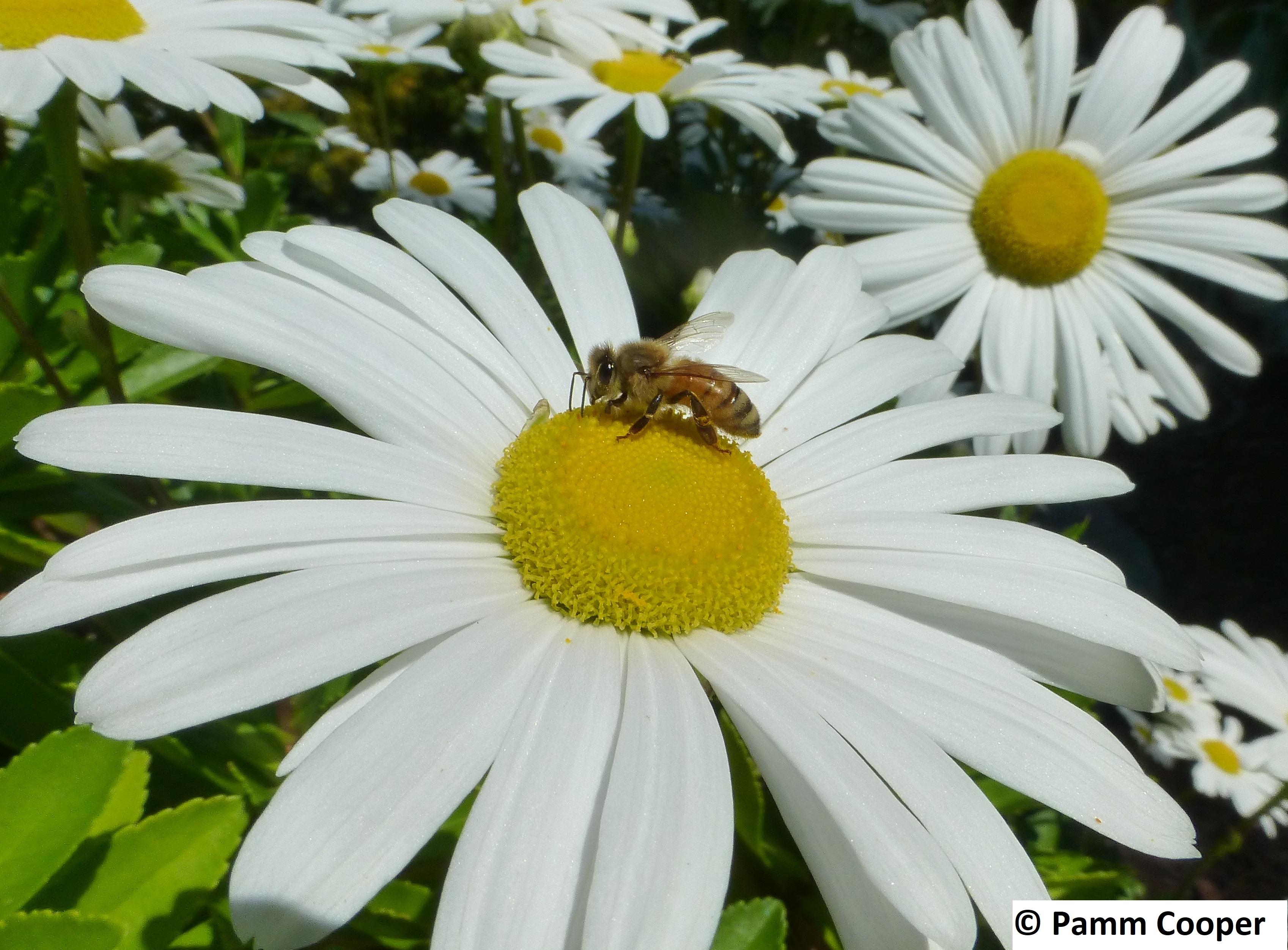honey bee on Montauk Daisy