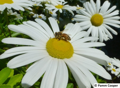 honey bee on Montauk Daisy