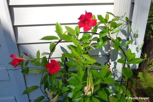 Mandevilla vine in bloom November 3 2019