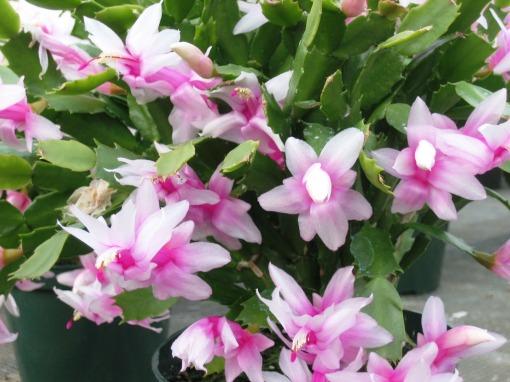 christmas cactus Dawn light pink1-1