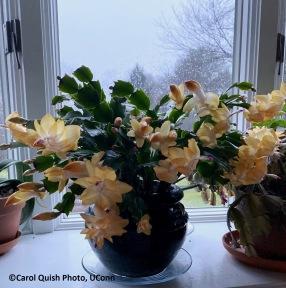 christmas cactus yellow 2
