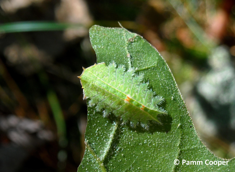 crown slug on oak ruby fenton 10-2-11