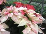 Poinsettia, Bob's sleighbells,Dawn