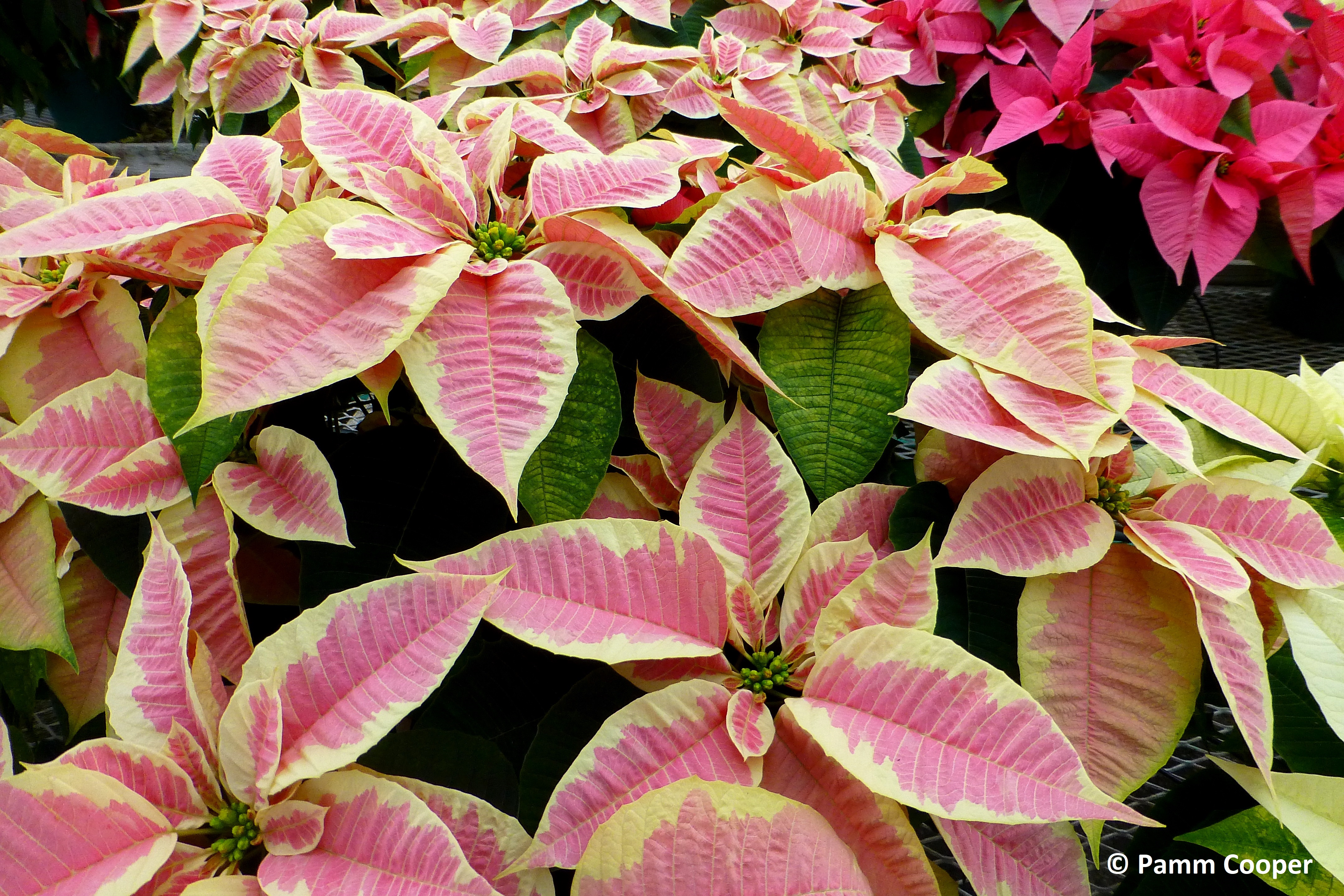 Pointsettias pink and cream Peterstar marble variety-1