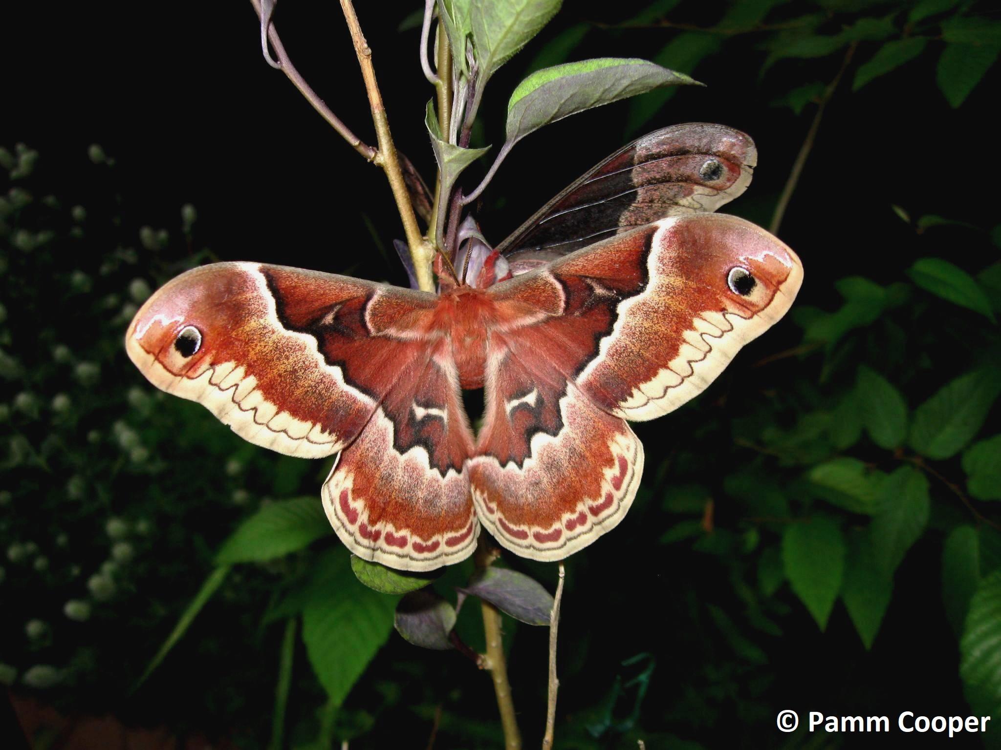 Promethea moth female 2010 raised from egg found on sassafrass Belding