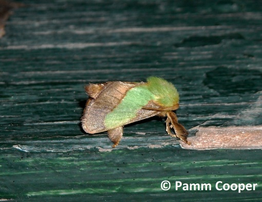 Smaller Parasa attracted to light