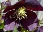 1-Lenten rose