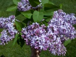 1-Lilac