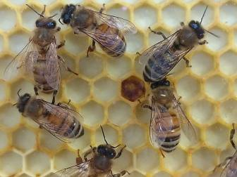 3-bees on comb