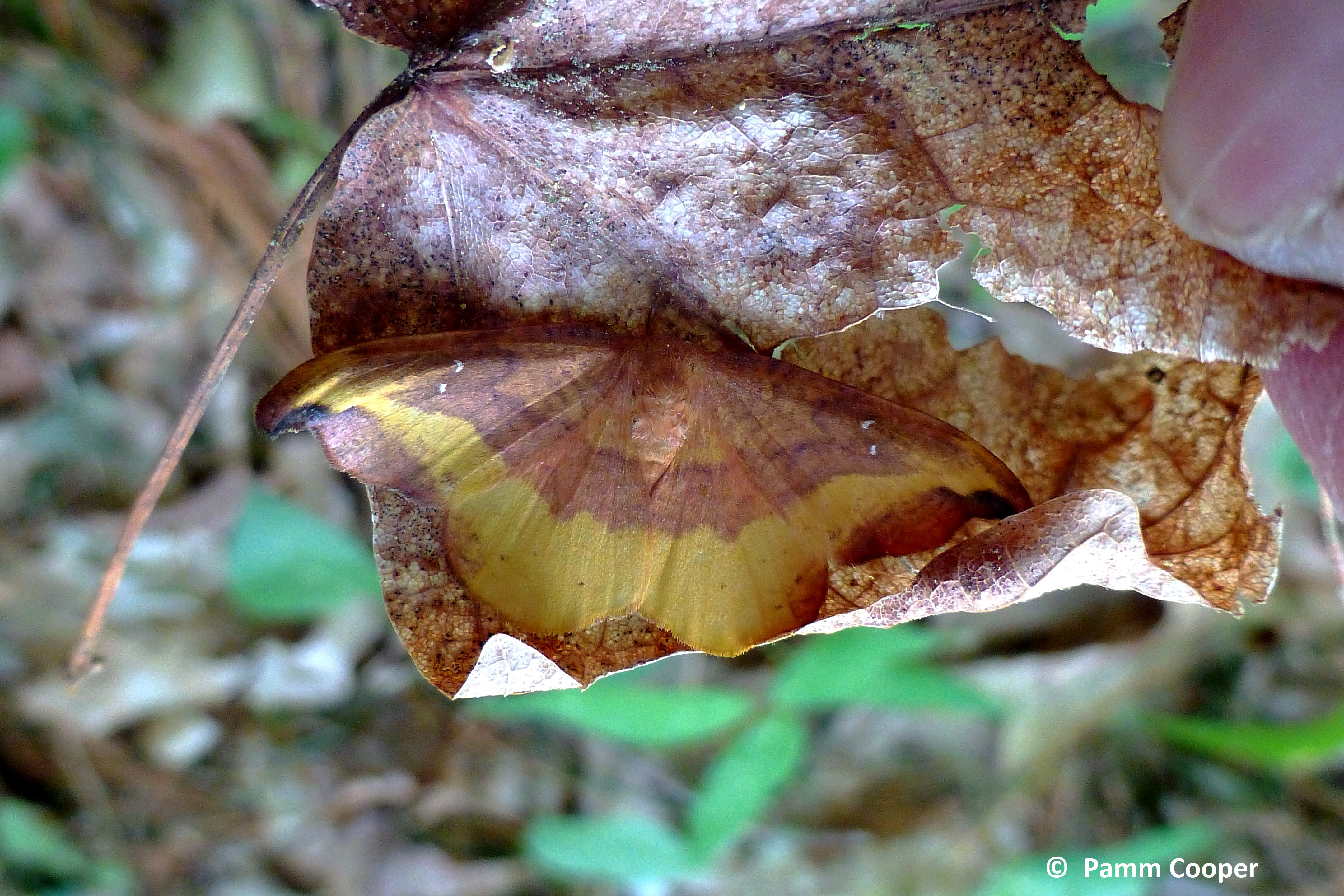 rose-hooktip-moth Oreta rosea-cryptic