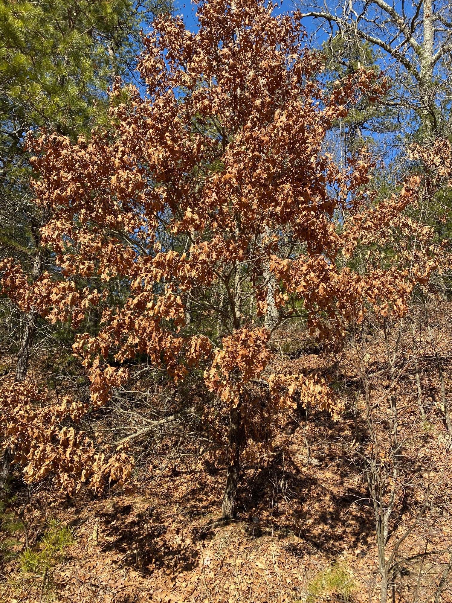 oak juvenile holding leaves feb2020