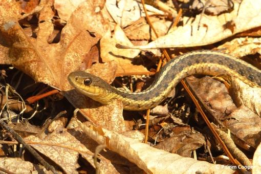 garter snake in deep woods near a strem MArch 26 2020