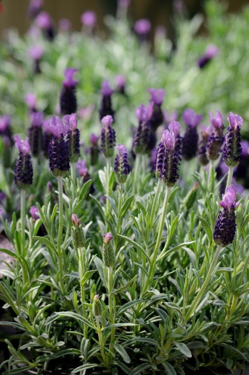 Lavender_Anouk_DarwinPerennials from ngb