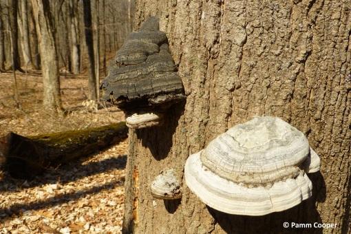 Phellinus robiniae shelf fungi on decaying tree trunk