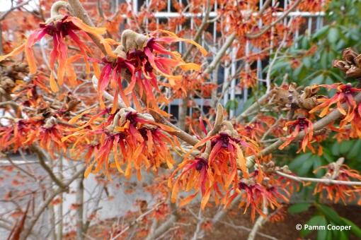 spring witchhazel flowers