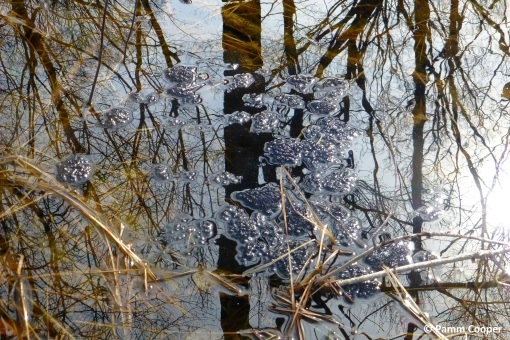 wood frog eggs floating on the surface of a vernal pool March 19 2020