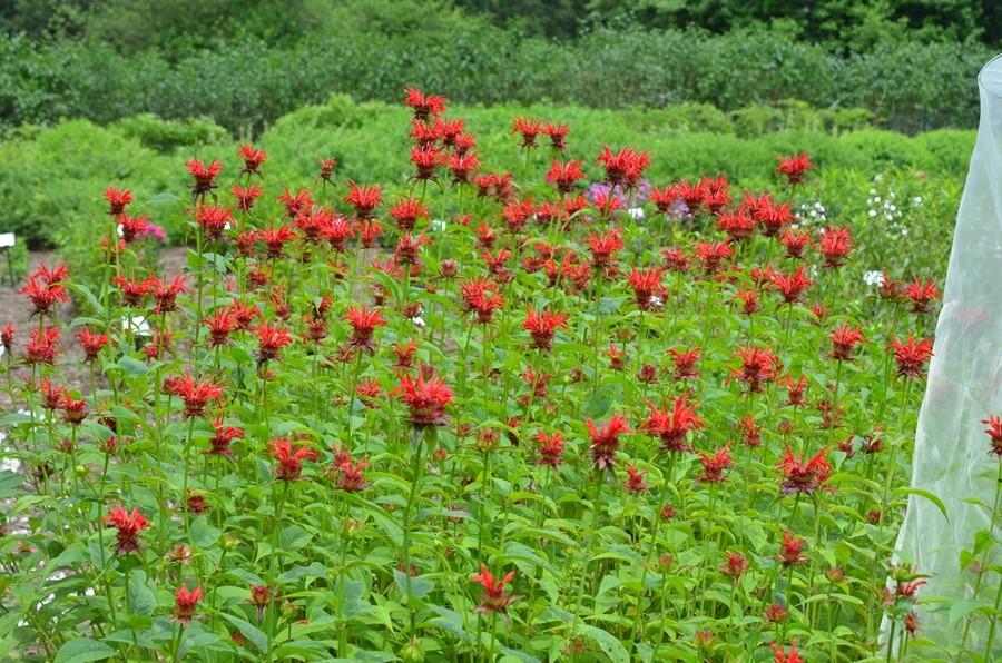 monarda in flower