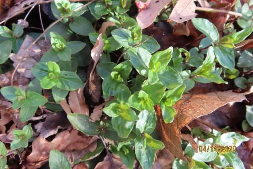 mountain mint emerging