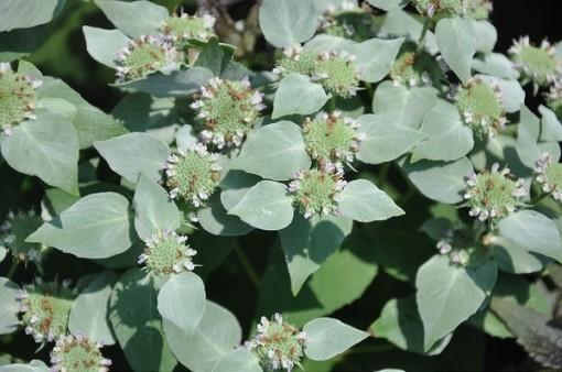 mountain mint in flower