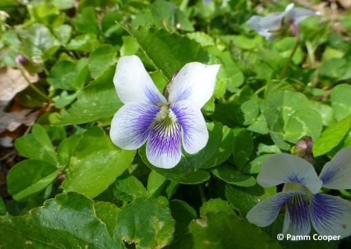 Common Blue Violet Viola sororia