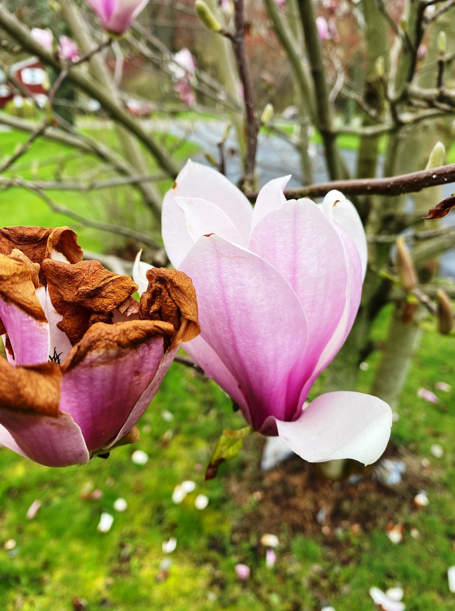 Magnolia flower and cold damaged one