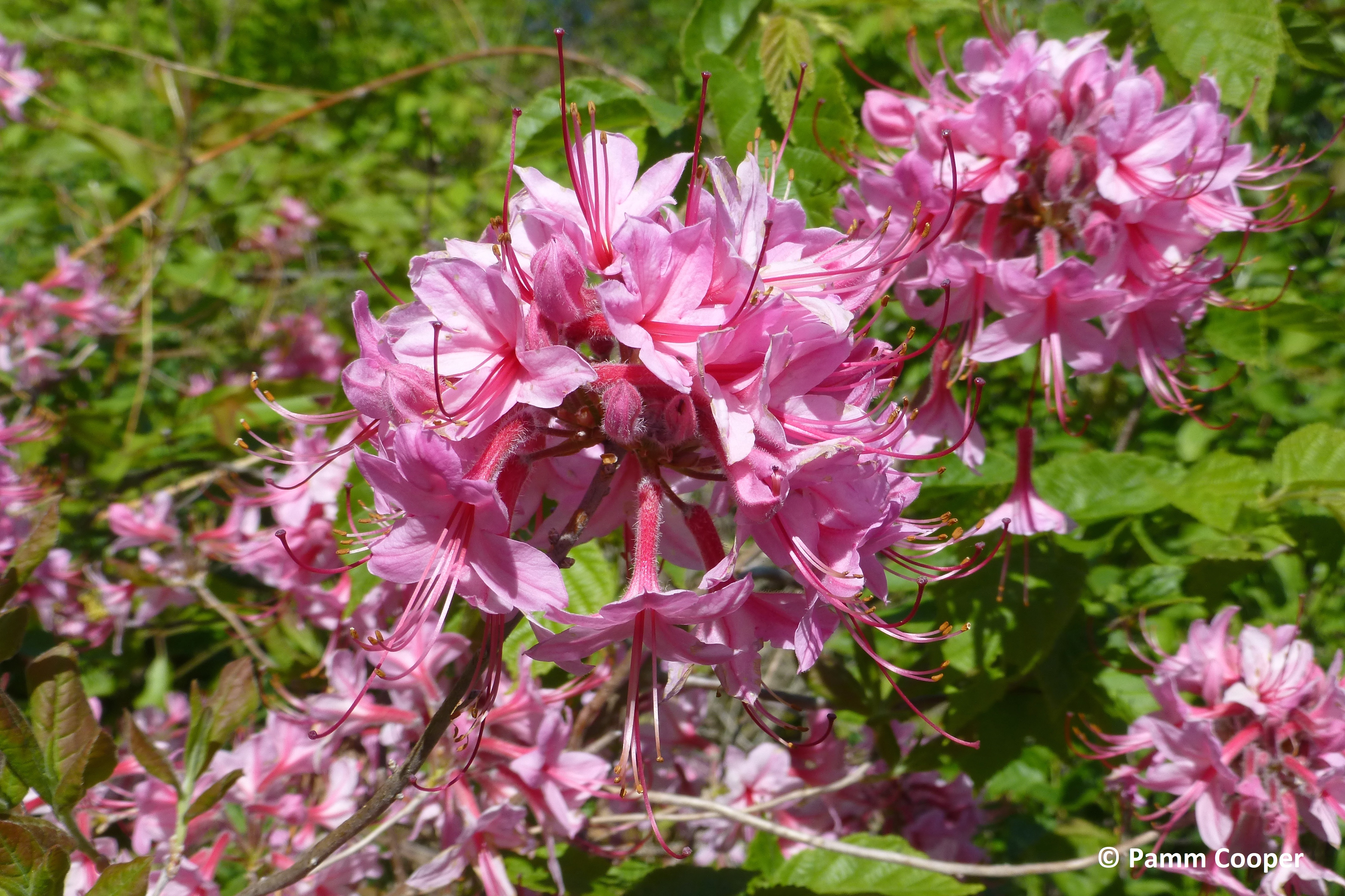 pinxter flower native 5-22-15 Ruby Fenton