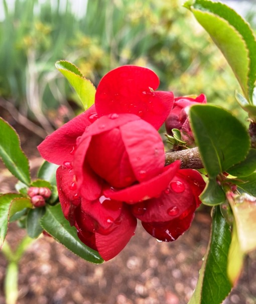 quince flowering