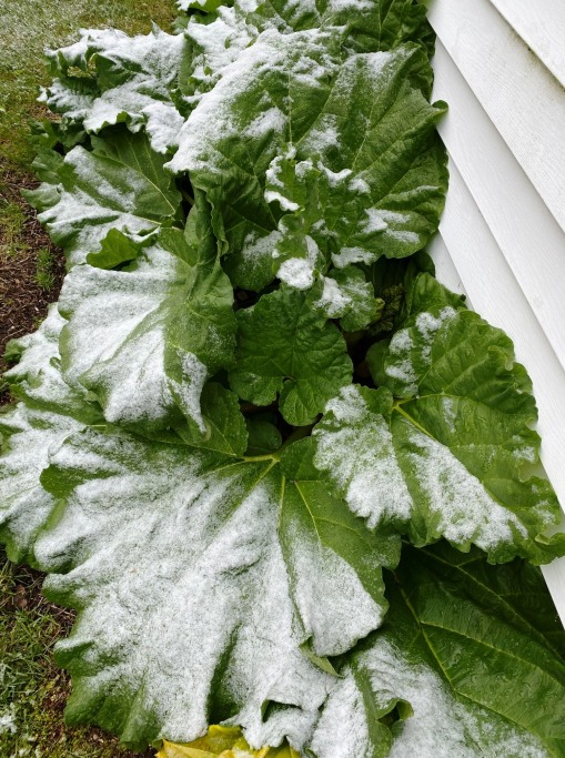 Rhubarb in snow