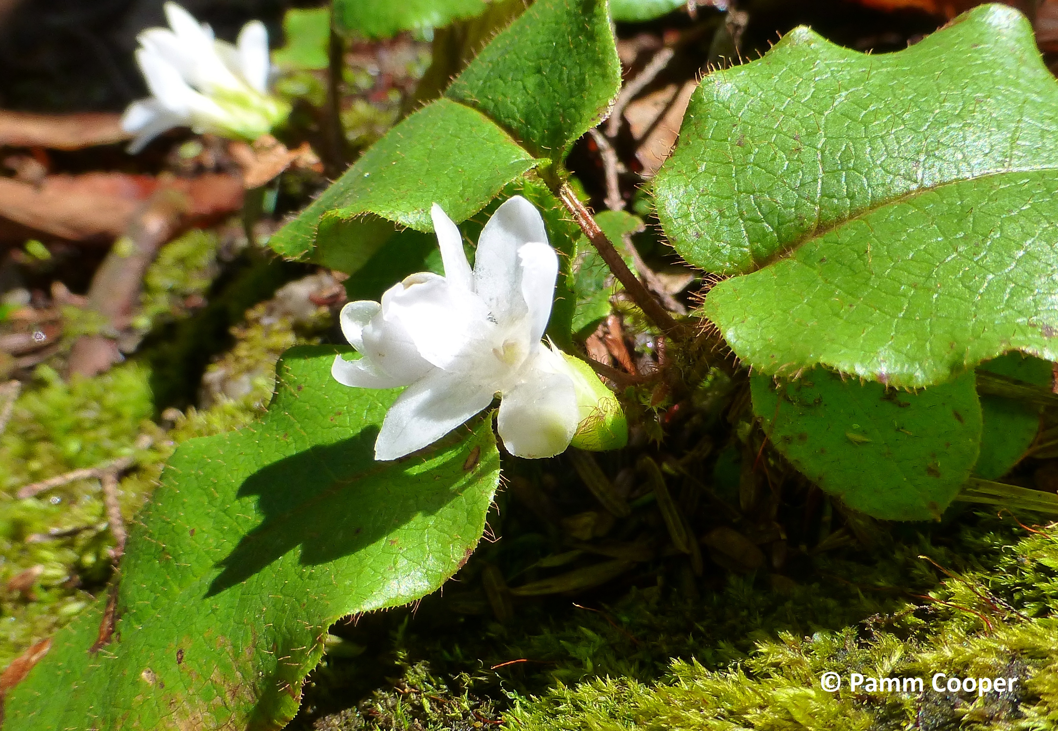 trailing arbutus showing hairs on stems and leaf edges April 2020