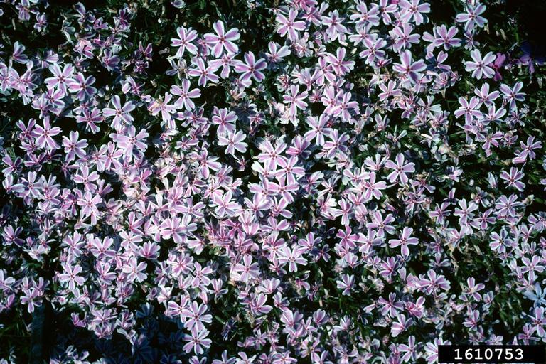 1610753-moss-phlox-bugwood