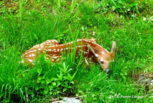 fawn lying in grass beside a brook 6-3-2020