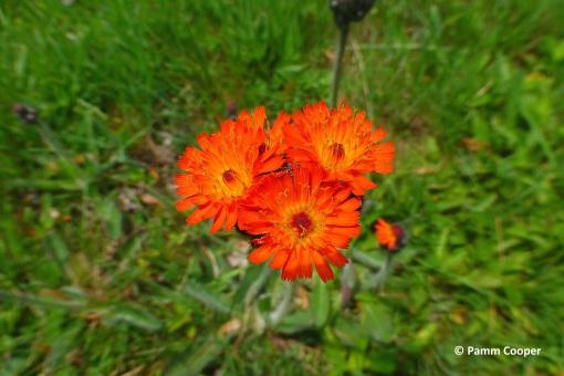 orange hawkweed II
