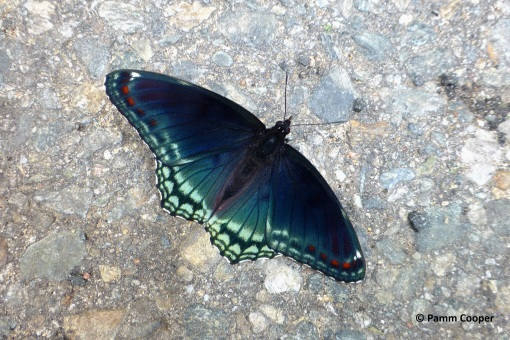 red spotted purple June 5 2020
