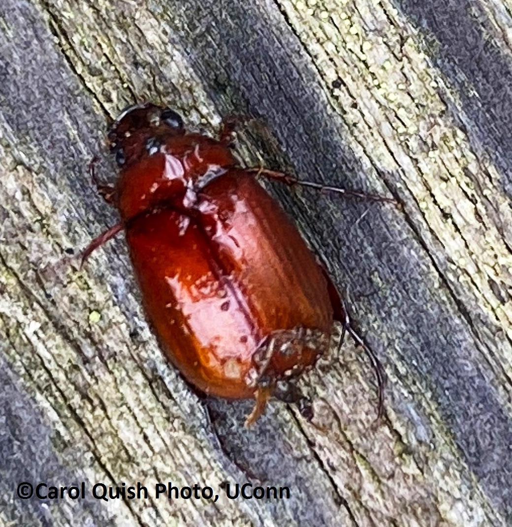 Asiatic Garden Beetle 2