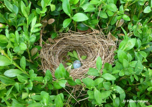 chipping sparrow nest in boxwood hedge 7-9-2020