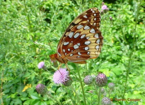 great spangled fritillary on spotted knapweed