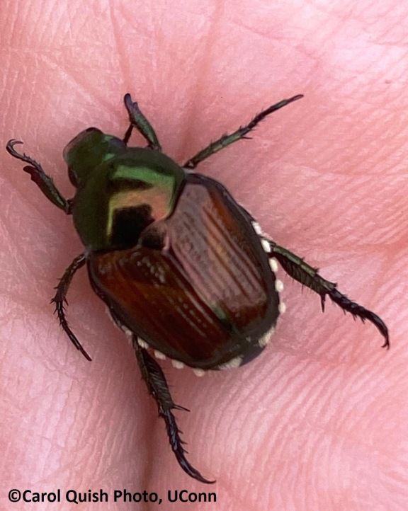 Japanese Beetle in hand