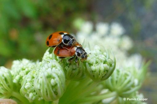 Lady beetles Hippodamia variegata