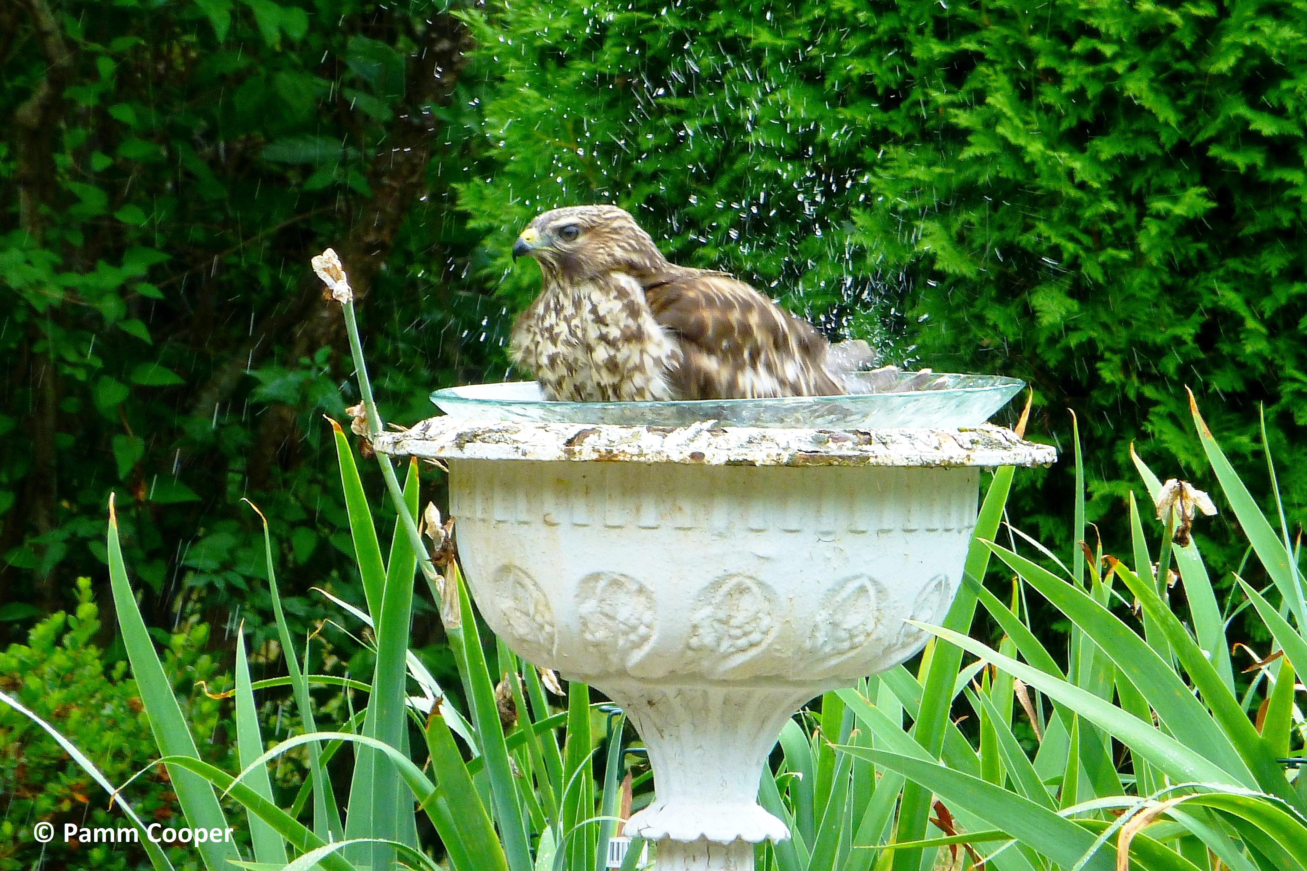 red shouldered hawk in neighbor's bird bath