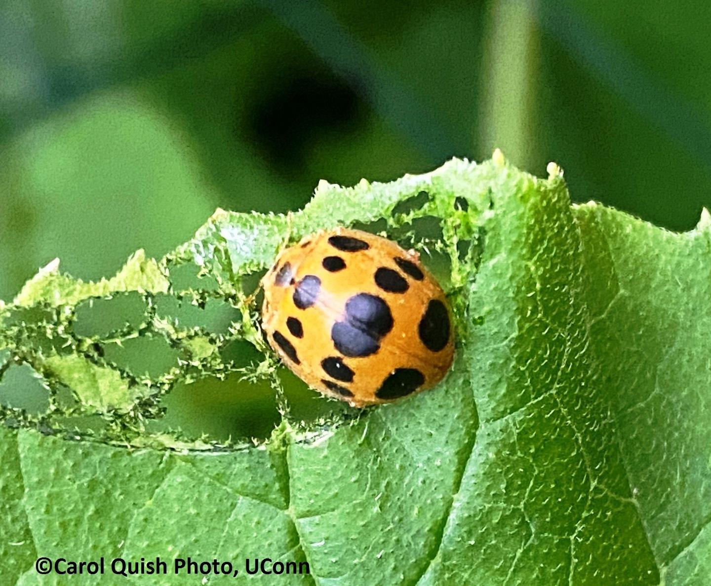 Squash beetle and damage