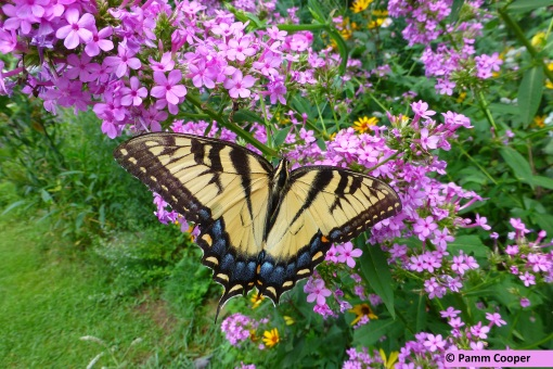 tiger swallowtail on phlox at Sues