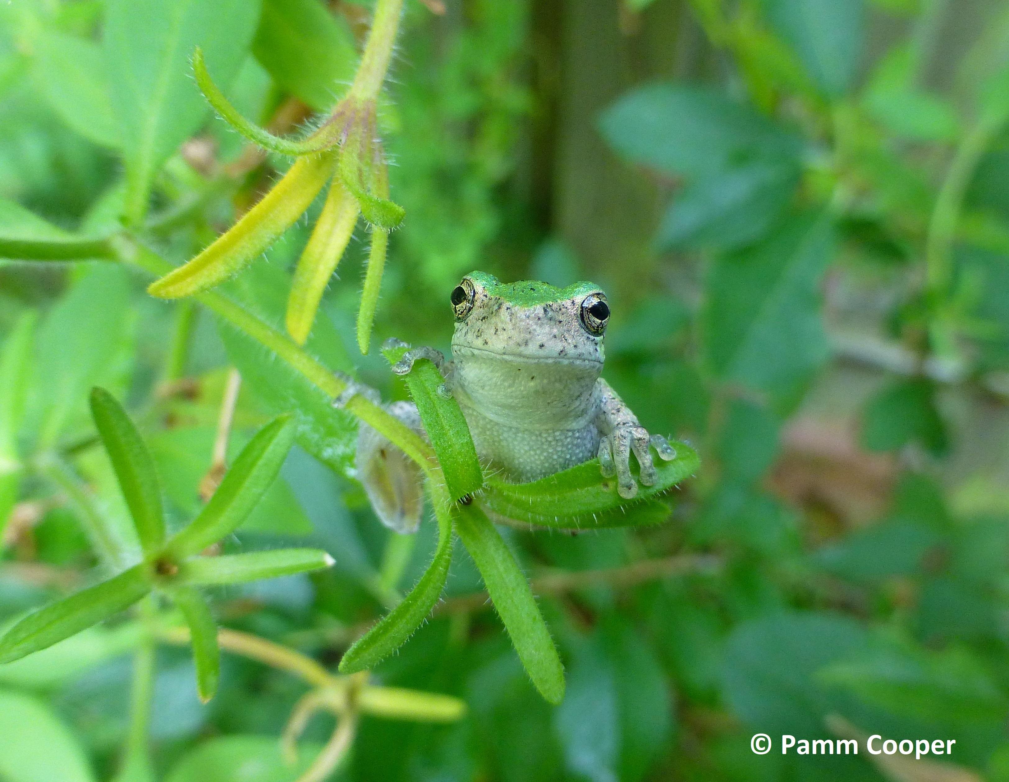 tree frog on garden vine